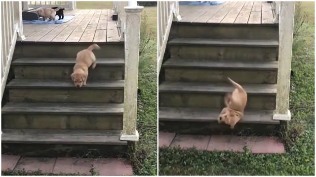 La Caduta Più Goffa Di Un Cucciolo Di Labrador Buzz Videos Your