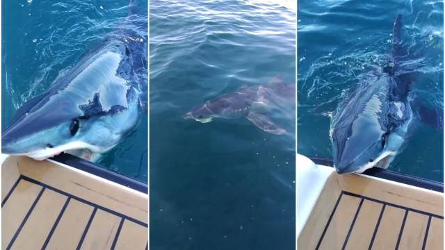 b397ce18731 Haj sørger for at dykkere ikke føler sig velkomne - Buzz Videos ...