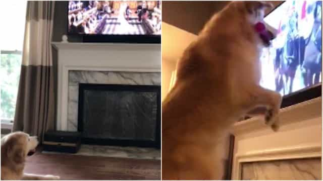 Dog Gets Really Excited About The Royal Wedding Buzz Videos Your