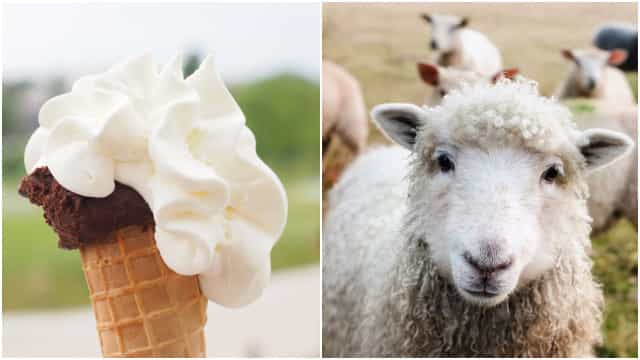 1e1139d2f3 Sheep patiently waits in line to buy ice cream - Buzz Videos - Your ...