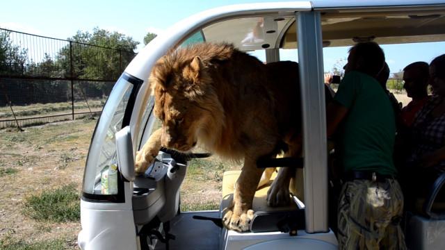dovne løve dating live links dating site