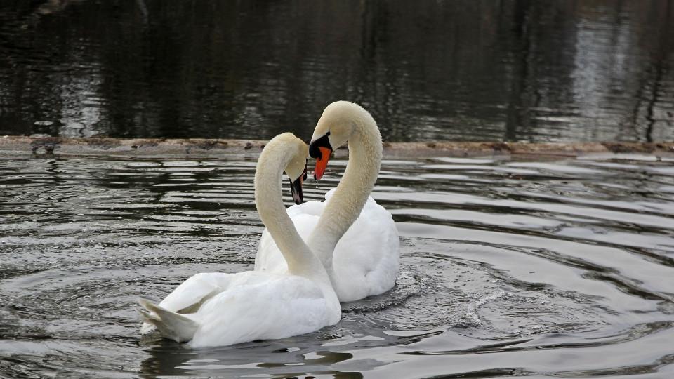 musta Swan suku puoli kohtausamatööri sarja kuva porno