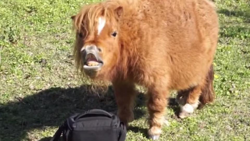 1fde3c8ce8b Dit schattige paardje is slechts 53 centimeter groot - Buzz Videos - Your  Viral videos website!