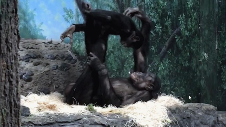 Kuinka suuri on Gorilla munaa
