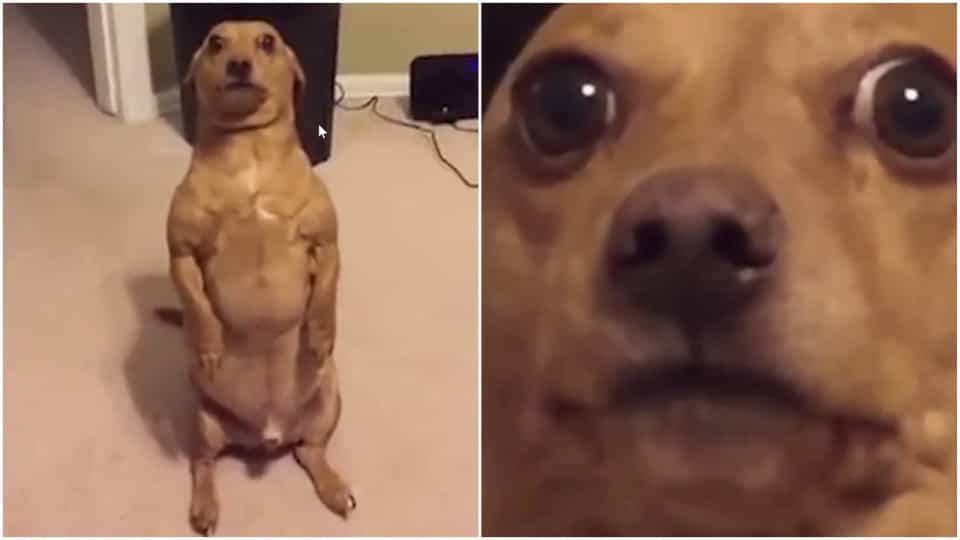 Dog Sits Like A Human To Ask For Food Buzz Videos Your Viral