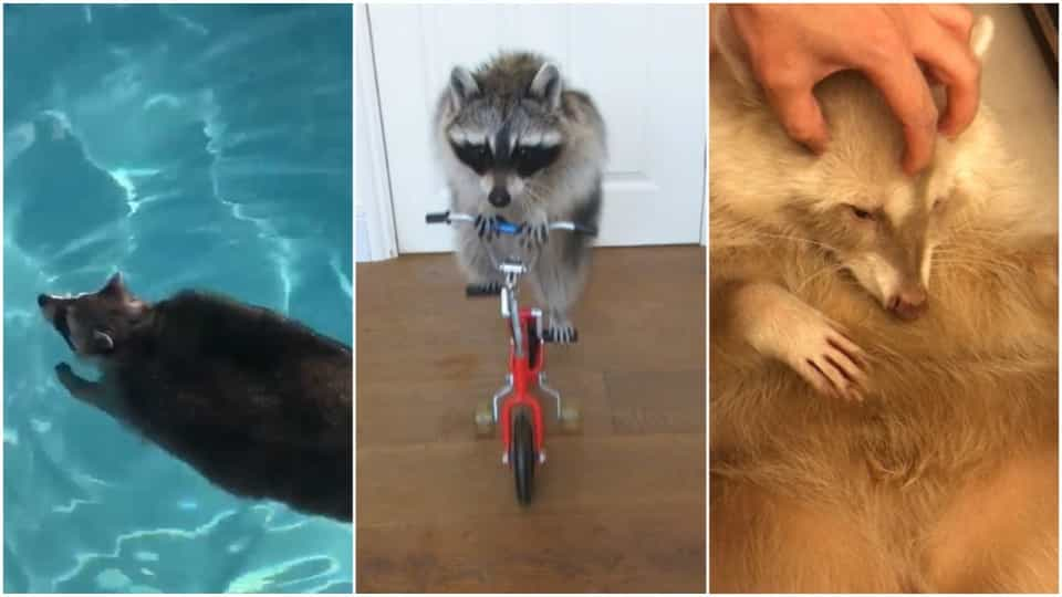 This Raccoon Video Will Melt Your Heart Buzz Videos Your Viral