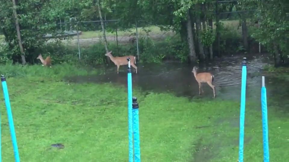Un Giardino Con Cervi Invadono Giocare L'acqua Videos Per Buzz jVqGzSUMLp