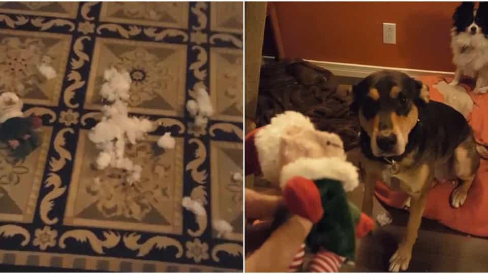 acf154883b62 Dogs look guilty after destroying Santa - Buzz Videos