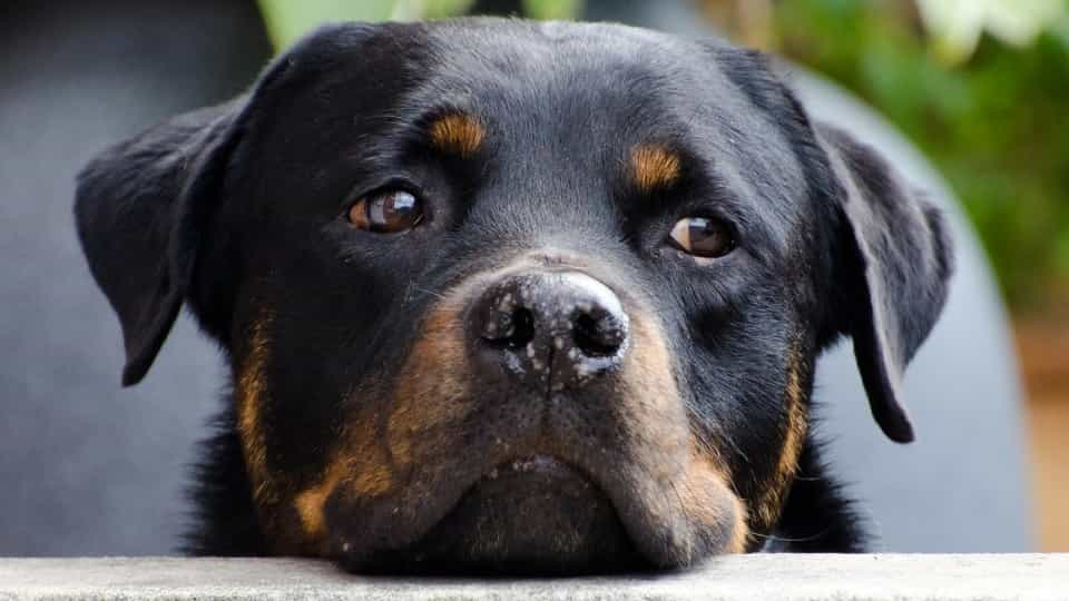 Rottweiler reacts to Christmas decoration - Buzz Videos