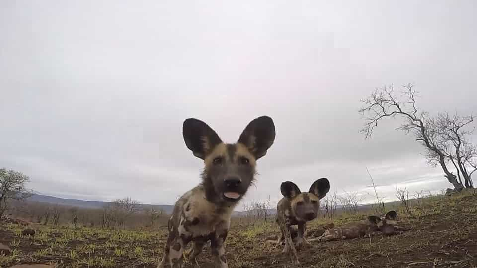 f4653b1b0ab2 African wild dogs completely amazed by camera - Buzz Videos - Your Viral  videos website!
