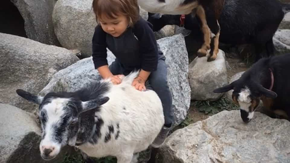 Girl mounts goats as if they were horses - Buzz Videos