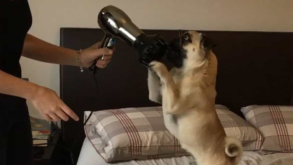 b309c96c5694 Dog is having an intense fight with hair dryer - Buzz Videos - Your Viral  videos website!