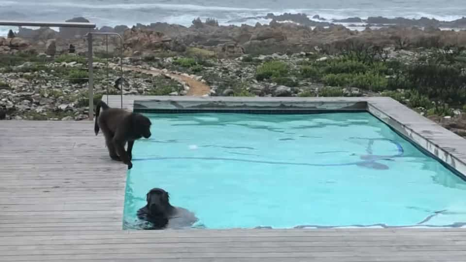 8c3051032 Baboons' hilarious poolside antics caught on film - Buzz Videos - Your  Viral videos website!