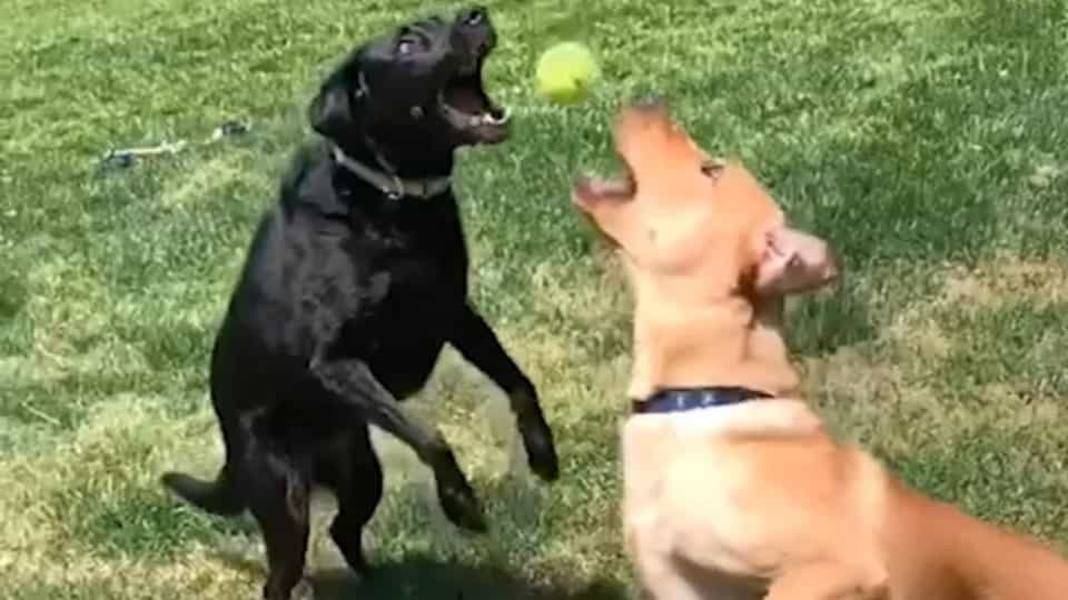 Dogs collide while chasing the same ball - Buzz Videos